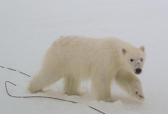 Eisbären lieben Messstationen