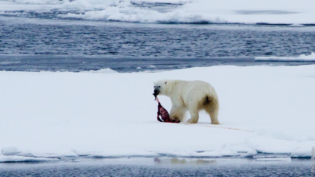 Eisbären auf Position 86°Nord 60°Ost