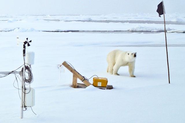 Besuch vom Eisbären