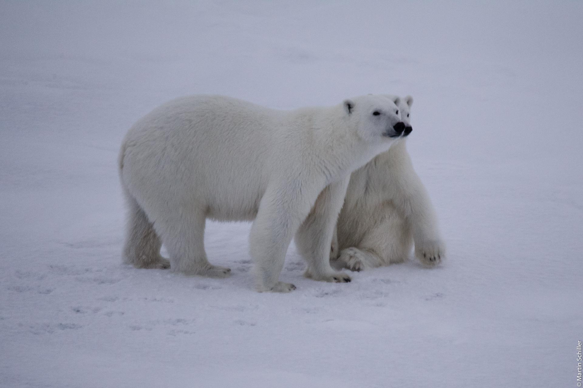 Kleiner Eisbär mit Mama