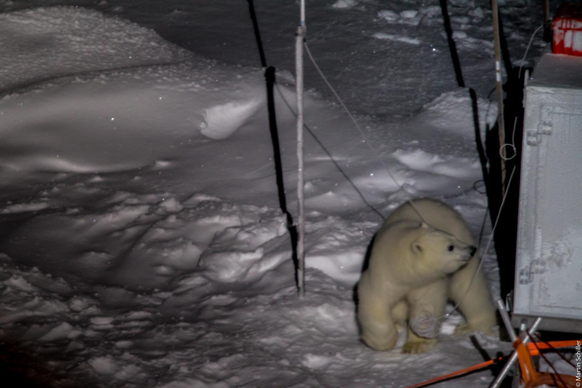 Eisbären im MOSAiC Forschungscamp